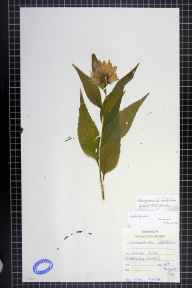 Campanula latifolia herbarium specimen from Land's End, VC1 West Cornwall in 1916.