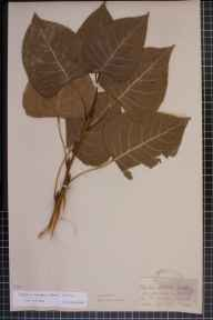 Populus nigra x deltoides = P. x canadensis herbarium specimen from Oxford,Christchurch meadows, VC23 Oxfordshire in 1907 by Mr George Claridge Druce.