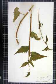 Campanula trachelium herbarium specimen from Colne, VC31 Huntingdonshire in 1879 by Mr Alfred Fryer.