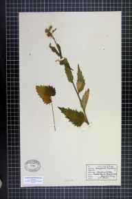Campanula trachelium herbarium specimen from Reigate Heath, VC17 Surrey in 1942 by Mr D R Jones (Repton School Herbarium).