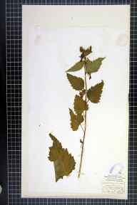 Campanula trachelium herbarium specimen from Donibristle, VC85 Fifeshire in 1836 by Rev. A Robertson.