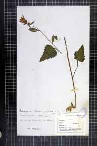Campanula trachelium herbarium specimen collected in 1871.