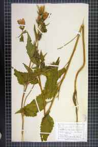 Campanula trachelium herbarium specimen from Miller's Dale, VC57 Derbyshire in 1872 by Mr Charles Bailey.