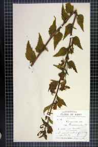 Campanula trachelium herbarium specimen from Borstal, VC15 East Kent in 1891 by Dr Gustavus A Ornano St Brody.