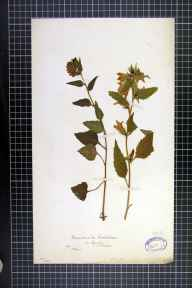 Campanula trachelium herbarium specimen from Lynton, VC4 North Devon in 1863 by T Rogers.