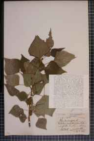 Populus nigra x deltoides = P. x canadensis herbarium specimen from Quorndon, VC55 Leicestershire in 1907 by Mrs Frances Louisa Foord-Kelcey.