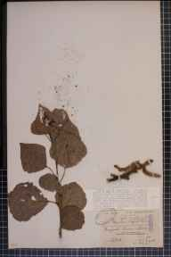 Populus nigra x deltoides = P. x canadensis herbarium specimen from Quorn, VC55 Leicestershire in 1906 by Mrs Frances Louisa Foord-Kelcey.