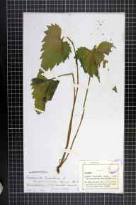 Campanula trachelium herbarium specimen from Owston Wood, VC55 Leicestershire in 1883.
