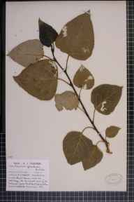 Populus balsamifera x deltoides = P. x jackii herbarium specimen from Formby Hills, VC59 South Lancashire in 1964 by Mr Arthur John Farmer.