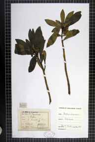 Daphne laureola herbarium specimen from Ockbrook, VC57 Derbyshire in 1877 by Rev William Hunt Painter.