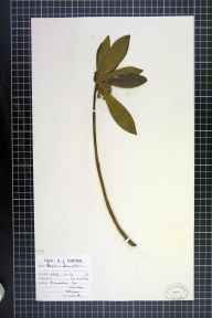 Daphne laureola herbarium specimen from Shireoaks, VC56 Nottinghamshire in 1944.