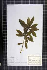 Daphne laureola herbarium specimen from Lowesby, VC55 Leicestershire in 1880.