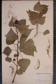Populus balsamifera x deltoides = P. x jackii herbarium specimen from Clare, VC26 West Suffolk in 1911 by Mr George Claridge Druce.