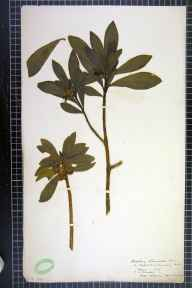Daphne laureola herbarium specimen from Lansdown, VC6 North Somerset in 1879 by H L Craven.