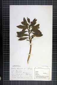 Daphne laureola herbarium specimen from Greatworth, VC32 Northamptonshire.