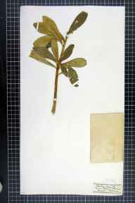 Daphne laureola herbarium specimen from Salcey Forest, VC32 Northamptonshire in 1875 by Mr George Claridge Druce.