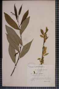 Salix pentandra x alba = S. x ehrhartiana herbarium specimen collected in 1913 by Miss L Day.