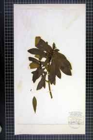 Daphne laureola herbarium specimen from Richmond, VC65 North-west Yorkshire in 1865 by Mr James Ward.