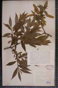 Salix pentandra x fragilis = S. x meyeriana herbarium specimen from Hitchin, VC20 Hertfordshire in 1924 by Mr Joseph Edward Little.