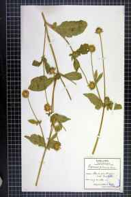 Dipsacus pilosus herbarium specimen from Freshford, Somerset in 1886 by Mr James Walter White.