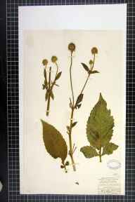 Dipsacus pilosus herbarium specimen from Whitcliffe Wood, VC65 North-west Yorkshire in 1845 by Mr James Ward.