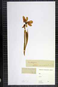 Iris foetidissima herbarium specimen from Puffin Island, VC52 Anglesey in 1824 by Mr  Roberts.