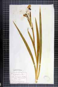 Iris foetidissima herbarium specimen from Woodspring Priory, VC6 North Somerset in 1884 by Mr James Walter White.