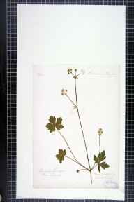 Sanicula europaea herbarium specimen from Tyldesley, VC59 South Lancashire in 1868.