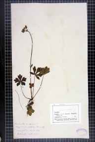 Sanicula europaea herbarium specimen from Liverpool,Allerton, VC59 South Lancashire in 1869 by Mr John Harbord Lewis.