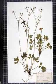 Sanicula europaea herbarium specimen from Torkington, VC58 Cheshire in 1866.