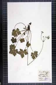 Sanicula europaea herbarium specimen from Alderley Edge, VC58 Cheshire in 1875 by A G Waters.