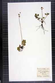 Sanicula europaea herbarium specimen from Broughton, VC59 South Lancashire in 1882 by F C King.