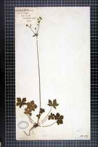 Sanicula europaea herbarium specimen from Stock Ghyll Force, VC69 Westmorland in 1857 by Robert Davies.
