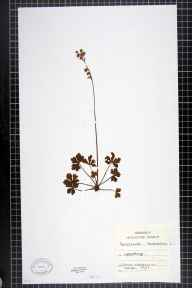 Sanicula europaea herbarium specimen from Upperfold, VC57 Derbyshire in 1907 by Chenevix-Trench.