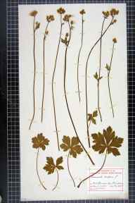Sanicula europaea herbarium specimen from Wotton-under-Edge, VC34 West Gloucestershire in 1905 by Charles L Walton.