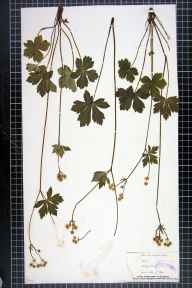 Sanicula europaea herbarium specimen from Warboys Wood, VC31 Huntingdonshire in 1881 by Mr Alfred Fryer.