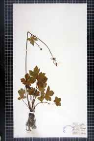 Sanicula europaea herbarium specimen from Winchester, VC11 South Hampshire in 1877 by J Comber.