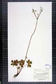 Sanicula europaea herbarium specimen from Beechen Wood, VC14 East Sussex in 1898 by Mr Charles Bailey.