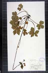 Sanicula europaea herbarium specimen from Builth, VC42 Breconshire in 1902 by Mr Charles Bailey.