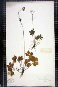 Sanicula europaea herbarium specimen from Nocton, VC53 South Lincolnshire in 1845.