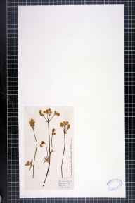 Sanicula europaea herbarium specimen from Aymestrey, VC36 Herefordshire in 1884 by Rose Fryer.