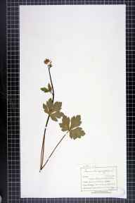 Sanicula europaea herbarium specimen from Maltby, VC63 South-west Yorkshire in 1899 by Mr Charles Bailey.