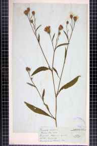 Serratula tinctoria herbarium specimen from Borough Hill, VC32 Northamptonshire.
