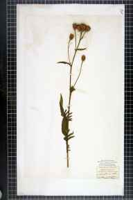 Serratula tinctoria herbarium specimen from Moughton, VC64 Mid-west Yorkshire in 1843 by John Tatham.