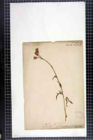 Serratula tinctoria herbarium specimen from Kineton Thorns, VC33 East Gloucestershire by Wood.