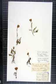 Serratula tinctoria herbarium specimen from Kynance Cove, VC1 West Cornwall in 1871 by Mr James Cunnack.