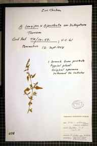 Atriplex prostrata x longipes = A. x gustafssoniana herbarium specimen from Barmston, VC61 South-east Yorkshire in 1978 by Eric Chicken.