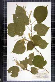 Tilia platyphyllos herbarium specimen from Capler Wood, VC36 Herefordshire in 1899 by Rev. Augustin Ley.