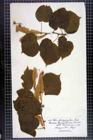 Tilia platyphyllos herbarium specimen from Shudy Camps, VC29 Cambridgeshire in 1891 by Rev. Augustin Ley.