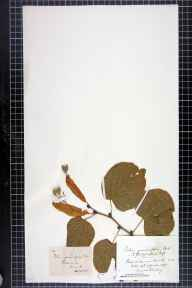 Tilia platyphyllos herbarium specimen from Portinscale, VC70 Cumberland in 1870 by Mr Charles Bailey.
